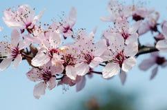 ανθών ελαφρύς μακρο φυσικός εστίασης λουλουδιών κερασιών διαφορικός Στοκ Εικόνες