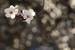 ανθών ελαφρύς μακρο φυσικός εστίασης λουλουδιών κερασιών διαφορικός Στοκ Φωτογραφίες