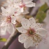 ανθών ελαφρύς μακρο φυσικός εστίασης λουλουδιών κερασιών διαφορικός Στοκ φωτογραφία με δικαίωμα ελεύθερης χρήσης