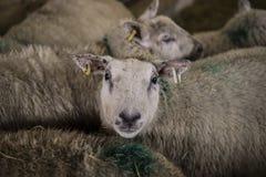 Δανικά πρόβατα στη μάνδρα Στοκ Φωτογραφίες
