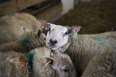 Δανικά πρόβατα στη μάνδρα Στοκ Εικόνα