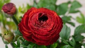 Ανοίγοντας κόκκινο λουλούδι βατραχίων απόθεμα βίντεο