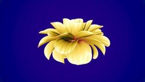 Ανοίγοντας τρισδιάστατη ζωτικότητα χρόνος-σφάλματος λουλουδιών πολύ άνθισης την κίτρινη που απομονώνεται νέα ποιότητα υποβάθρου ο απόθεμα βίντεο