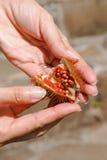 Ανοιγμένα orellana φρούτα Bixa στα χέρια της γυναίκας Στοκ Φωτογραφία