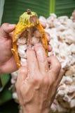 ανοιγμένος ακατέργαστος φρέσκος λοβός κακάου στα χέρια με τα φασόλια μέσα Στοκ Φωτογραφίες