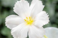 Ανοιγμένος οφθαλμός της ασυνήθιστης άσπρης τουλίπας Λουλούδι με πλαισιωμένος στο φυσικό φύλλωμα το πράσινο υπόβαθρο 9 πολύχρωμες  στοκ φωτογραφίες