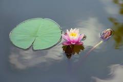 Ανοιγμένος ρόδινος κρίνος νερού λουλουδιών, λωτός στην επιφάνεια του μπλε νερού, δίπλα στο στρογγυλό πράσινο φύλλο Στοκ Εικόνες