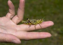 ανοιγμένος grasshopper φοίνικας Στοκ Εικόνα
