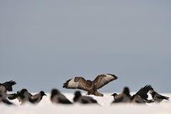 ανοικτά ευρέα φτερά καρα&kappa στοκ φωτογραφίες