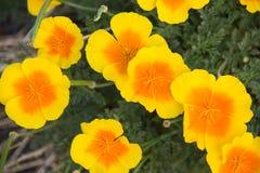 Ανοικτά λουλούδια παπαρουνών Στοκ Φωτογραφίες
