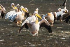 ανοικτά φτερά πελεκάνων Nakuru Στοκ Εικόνες
