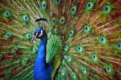 Ανοικτά φτερά Peacock που κοιτάζουν μέσω της κάμερας στοκ εικόνες
