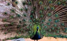 ανοικτή ουρά peacock Στοκ Φωτογραφίες