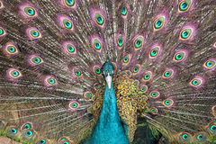 ανοικτή ουρά peacock Στοκ Φωτογραφία