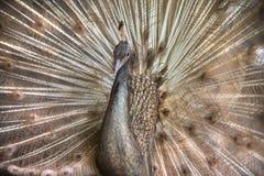 ανοικτή ουρά peacock Στοκ φωτογραφίες με δικαίωμα ελεύθερης χρήσης