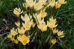 Ανοικτό κίτρινο κρόκοι Στοκ Φωτογραφίες
