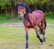 Ανοικτό καφέ άλογο που τρέχει κοντά στο δάσος Στοκ φωτογραφία με δικαίωμα ελεύθερης χρήσης