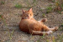 Ανοικτό καφέ οικογενειακή γάτα που ξυπνιέται από το όνειρο στο αμμοχάλικο και εξετάζοντας συγκεχυμένος άμεσα τη κάμερα στοκ φωτογραφίες με δικαίωμα ελεύθερης χρήσης