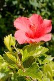 ανοικτό κόκκινο λουλουδιών Στοκ φωτογραφία με δικαίωμα ελεύθερης χρήσης