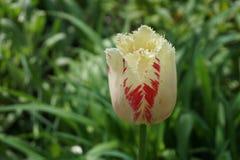 Ανοικτό λουλούδι τουλιπών κόκκινος-λευκού στοκ φωτογραφίες με δικαίωμα ελεύθερης χρήσης