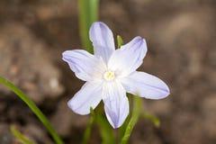 Ανοικτό μπλε άποψη κινηματογραφήσεων σε πρώτο πλάνο λουλουδιών άνοιξη snowdrop σχετικά με το σκοτεινό υπόβαθρο στοκ φωτογραφίες