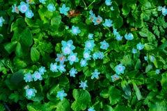 Ανοικτό μπλε δασικά λουλούδια σε ένα υπόβαθρο των πράσινων φύλλων στοκ φωτογραφία