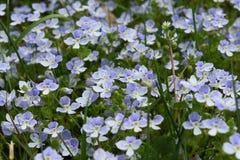 Ανοικτό μπλε κυανά λουλούδια λιβαδιών στοκ εικόνα