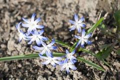Ανοικτό μπλε λουλούδια άνοιξη snowdrop στο σκοτεινό επίγειο υπόβαθρο στοκ φωτογραφία