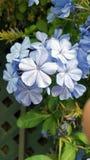 Ανοικτό μπλε plumbago με τα πολλαπλάσια κεφάλια λουλουδιών Στοκ Εικόνες