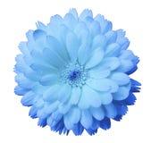 Ανοικτό μπλε, ευγενές calendula λουλουδιών, μπλε πέταλα με τη δροσιά, απομονωμένο λευκό υπόβαθρο Στοκ εικόνες με δικαίωμα ελεύθερης χρήσης
