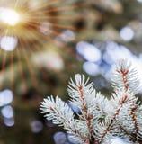 Ανοικτό μπλε κλάδοι του λεπτού νέου δέντρου έλατου Στοκ Φωτογραφίες