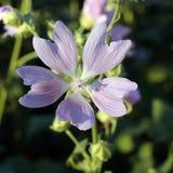 Ανοικτό μωβ θολωμένη λουλούδι κινηματογράφηση σε πρώτο πλάνο υποβάθρου Στοκ φωτογραφία με δικαίωμα ελεύθερης χρήσης