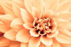Ανοικτό πορτοκαλί κίτρινη μακρο φωτογραφία λουλουδιών νταλιών Στοκ εικόνες με δικαίωμα ελεύθερης χρήσης