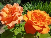 Ανοικτό πορτοκαλί κίτρινος αυξήθηκε ενιαία κινηματογράφηση σε πρώτο πλάνο λουλουδιών, ρομαντικές εγκαταστάσεις άνοιξη Στοκ Εικόνες