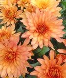 Ανοικτό πορτοκαλί λουλούδια χρυσάνθεμων Στοκ εικόνες με δικαίωμα ελεύθερης χρήσης