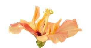 Ανοικτό πορτοκαλί hibiscus Στοκ εικόνες με δικαίωμα ελεύθερης χρήσης
