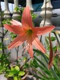 Ανοικτό πορτοκαλί λουλούδι Amaryllis Στοκ Φωτογραφίες