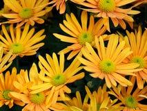 Ανοικτό πορτοκαλί σύνθετα λουλούδια Στοκ φωτογραφία με δικαίωμα ελεύθερης χρήσης