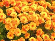Ανοικτό πορτοκαλί χρυσάνθεμα Στοκ φωτογραφίες με δικαίωμα ελεύθερης χρήσης