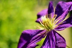 Ανοικτό πορφυρό λουλούδι διάστημα αντιγράφων Στοκ Εικόνα