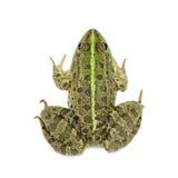 Ανοικτό πράσινο βάτραχος έλους Στοκ φωτογραφίες με δικαίωμα ελεύθερης χρήσης