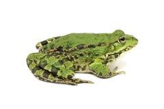 Ανοικτό πράσινο βάτραχος Στοκ Φωτογραφίες