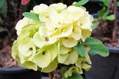 Ανοικτό πράσινο κορώνα των λουλουδιών αγκαθιών σε μια δέσμη με τα φύλλα Στοκ εικόνα με δικαίωμα ελεύθερης χρήσης
