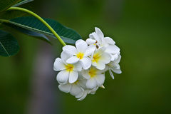 ανοικτό πράσινο λουλούδι Στοκ φωτογραφία με δικαίωμα ελεύθερης χρήσης