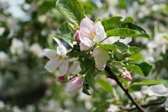Ανοικτό ροζ άνθος της Apple, τα ανθίζοντας δέντρα κήπων ` s στοκ εικόνα