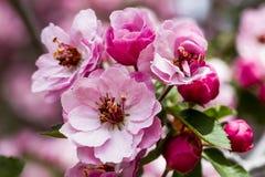 Ανοικτό ροζ ανθίσεις δέντρων της Apple καβουριών Στοκ φωτογραφίες με δικαίωμα ελεύθερης χρήσης
