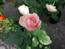 ανοικτό ροζ αυξήθηκε Στοκ Εικόνα