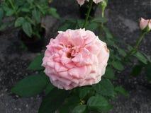 ανοικτό ροζ αυξήθηκε Στοκ εικόνα με δικαίωμα ελεύθερης χρήσης