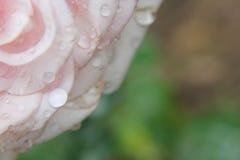 ανοικτό ροζ αυξήθηκε Στοκ Φωτογραφίες
