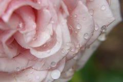 ανοικτό ροζ αυξήθηκε Στοκ Εικόνες